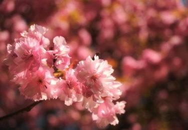 У цвіті сакури