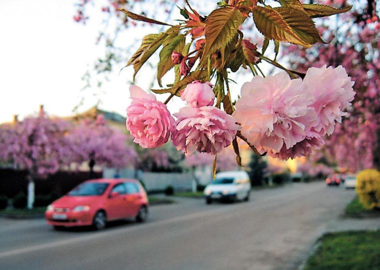 Однодневные экскурсии по Карпатам и Закарпатью Ужгород в цвету сакуры