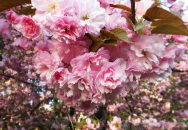 Ужгород у цвіті сакури