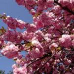 В цвету сакуры