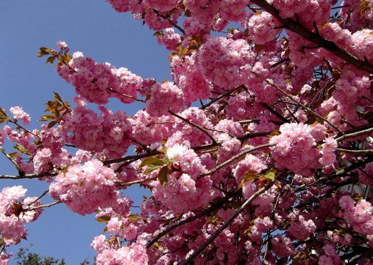 Тури Західною Україною У цвіті сакури