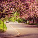 Ужгород в цвету сакуры